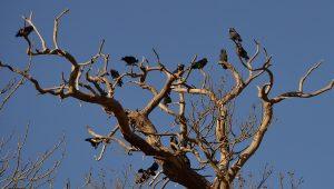 Crow Tree